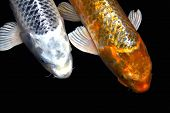 Two Japanese Koi fish, one silver, one gold. poster