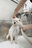 Terrier dog being groomed with hair dryer poster