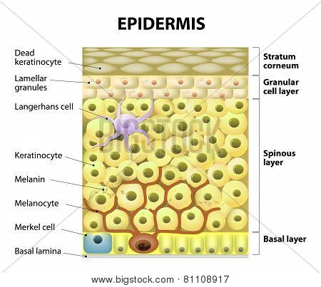 Cell In The Epidermis