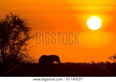 wild african elephant and sunset, South Africa, Kruger