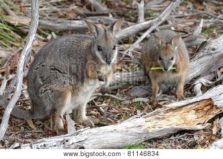 Walibies At Flinders Chase Np Australia