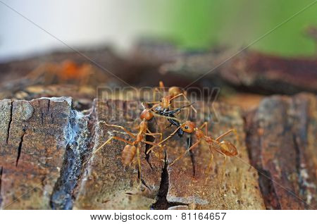 weaver ants are carrying the prey