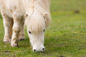 Cute little cream colored shetland pony grazing on the green grass in close up poster