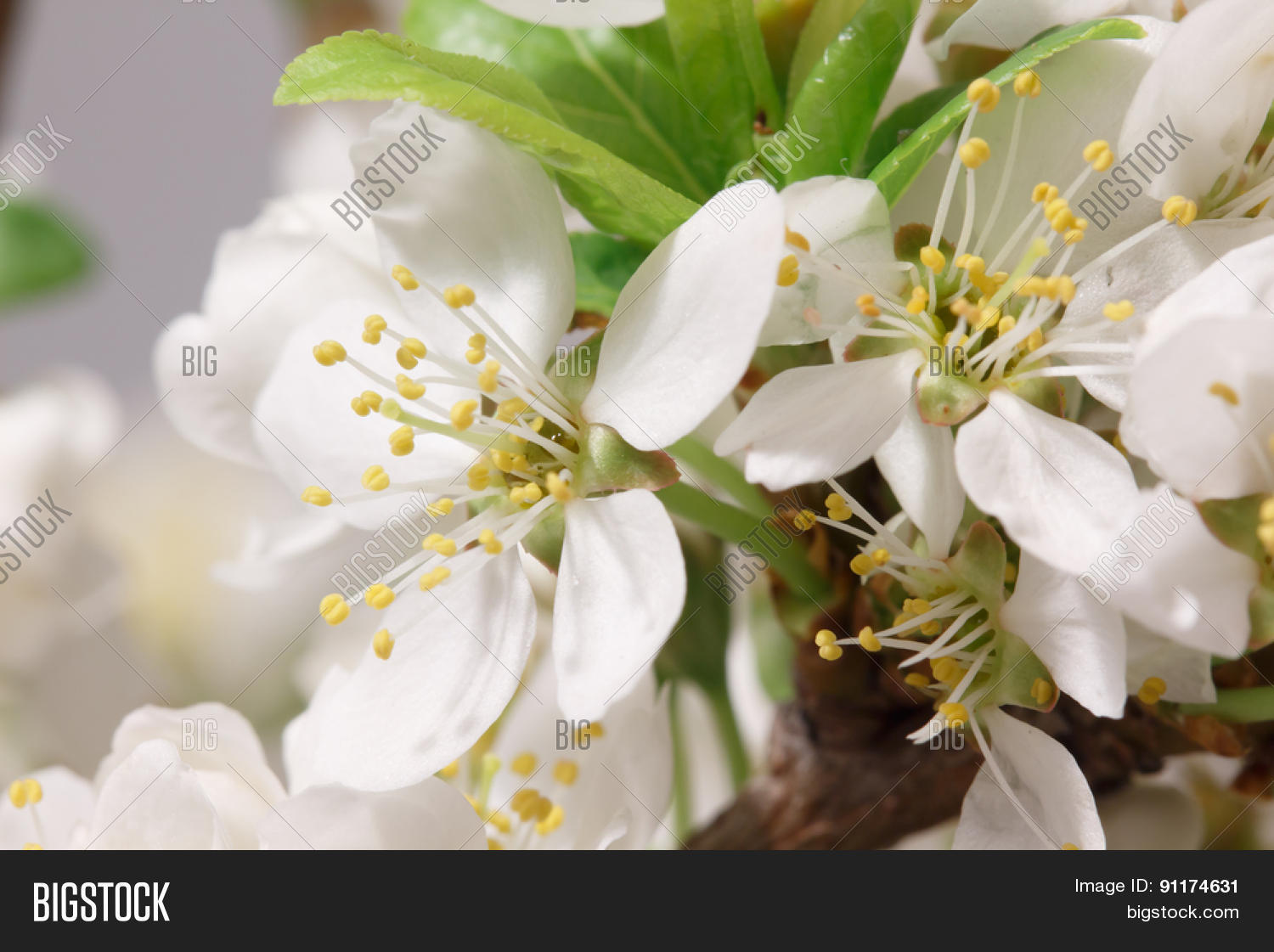 Mayflower Flower Image Photo Free Trial Bigstock