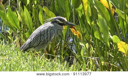 Yellow Crowned Ight Heron