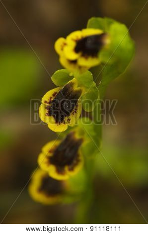 Yellow Ophrys Orchid - Ophrys Lutea