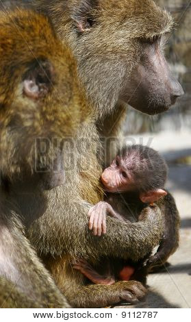 Baboon Monkey Feeding Its Baby