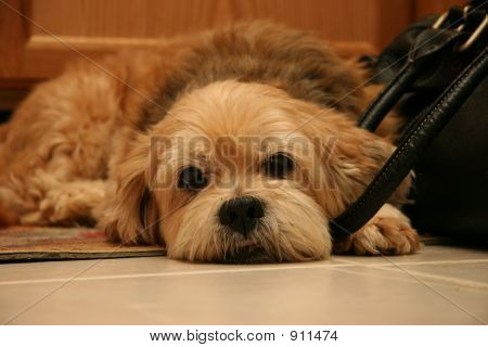 Cute Dog Guarding A Purse