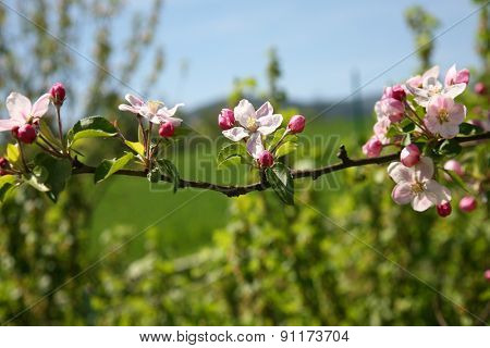 Blooming apple branch