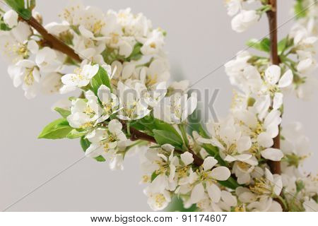 The balmy breath of spring: a branch with lots of white flowers close-up