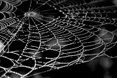 a spider web covered by the morning dew photographed in black and white. poster