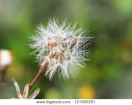 dandelion fluff spring green background, blurred background