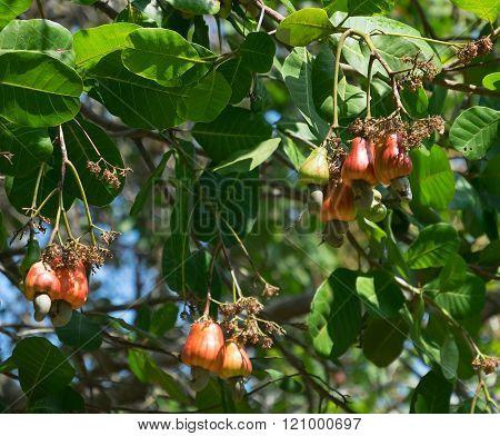cashew nut on tree red tropical, leaf, farming