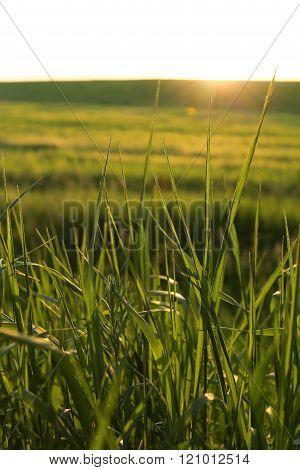 Golden wild grass on the sunset in backlight