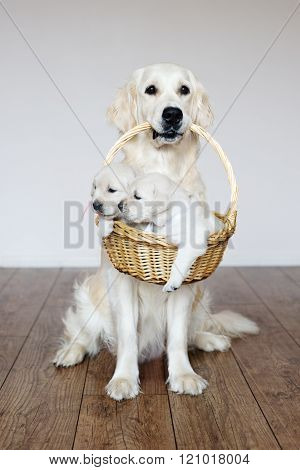 golden retriever dog holding a basket with puppies