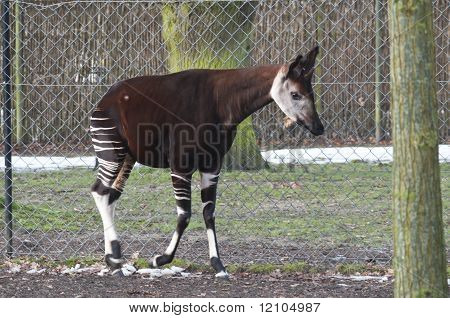 Male Okapi, Okapia Johnstoni
