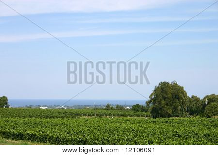 vineyard with grape vines overlooking town and lake