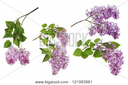 light lilac flowers collection isolated on white background