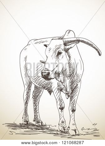Sketch of zebu cow, Hand drawn illustration
