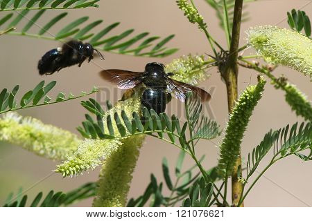 Sonoran Carpenter Bees on Acacia Flowers