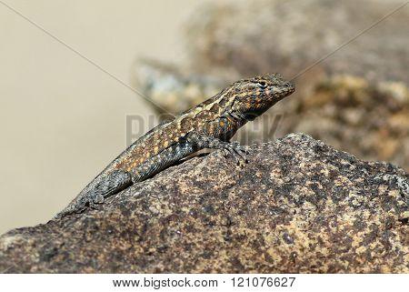 Side-blotched Lizard - Uta stansburiana