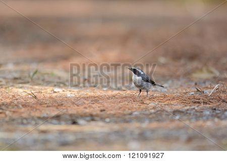 Blyth's Shrike-Babbler