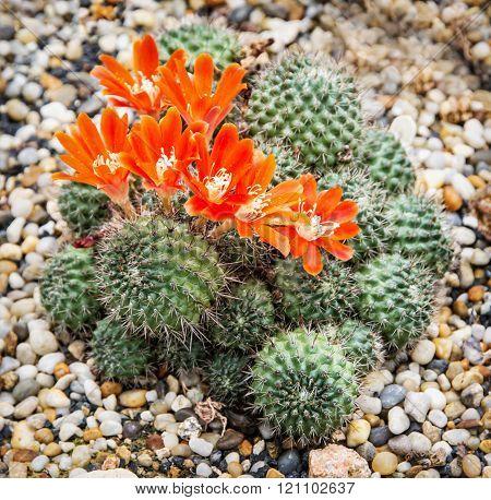 Rebutia almeyeri plant, gardening theme