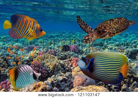 Colorful Coral Reef With Many Fishes And Sea Turtle. Red Sea, Eg