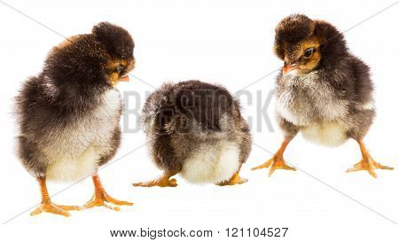 Three Little Chicken