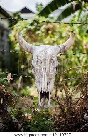 skull of cattle