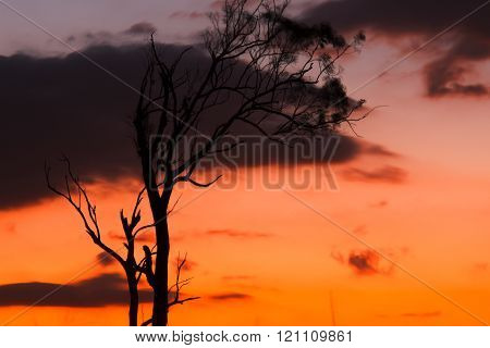 Tree silhouette in Queensland