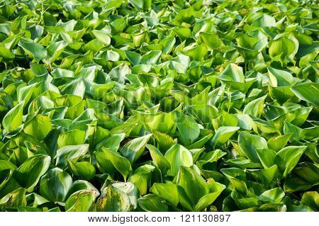 Water Hyacinth tree in river , Eichhornia crassipes