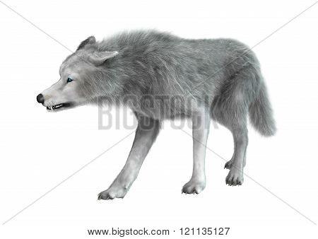 Polar Wolf on White