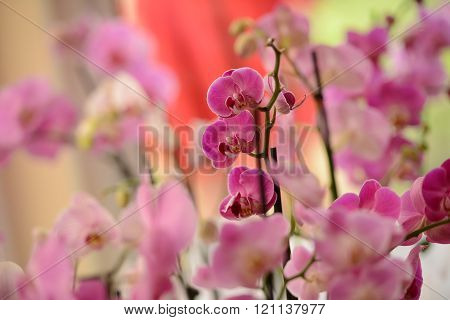 Pink Orchid In Natural Light