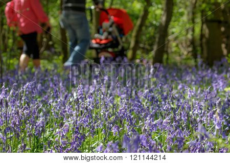 Family Walking Through Common Bluebells(hyacinthoides Non-scripta)