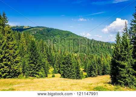 Coniferous Forest On A Mountain