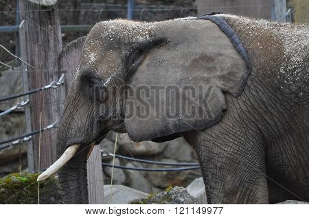 Elephant Mammal Animal
