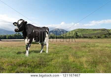one cow in pasture in summer sunny day in New Zealand