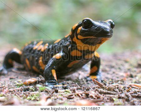 fire salamander to go hunt