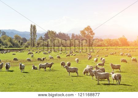 pasture with animals in summer sunny day in New Zealand