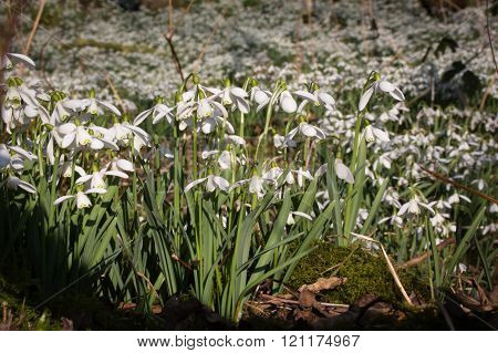 Bunch of beautiful common snowdrops and a sunny day