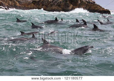 Bottlenose Dolphins in Indian Ocean Near South Africa