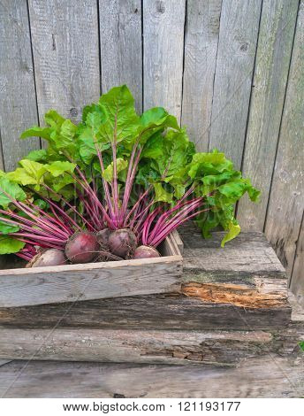 Fresh beets from the garden