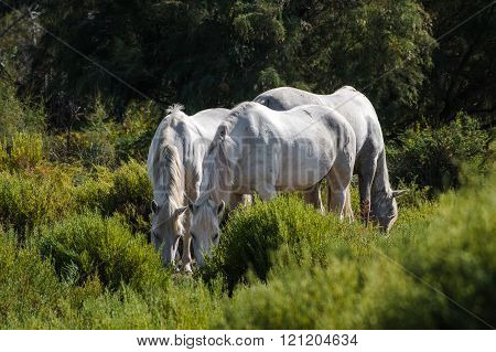 White And Brown Camargue Horse In Camargue - Provence, France