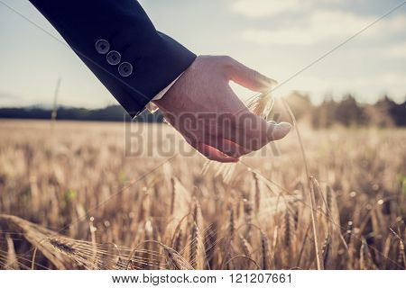 Hand Of A Businessman Touching A Ripe Ear Of Wheat