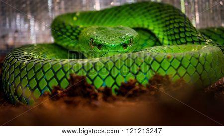 Green pit viper focus