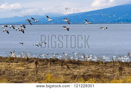 flying Snow Geese in Richmond BC Canada