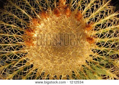 Golden Barrel Cactus Top