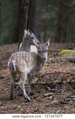 Group Of Baby Alpine Ibex