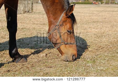 Eating Horse